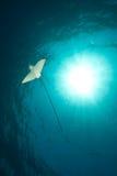 Ozean, Sonne und beschmutzter Adlerstrahl Lizenzfreies Stockbild