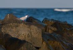 Ozean-Vogel, der auf Felsen steht Stockfotos
