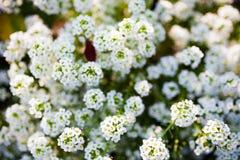 Ozean von kleinen weißen Blumen Stockfoto