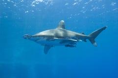 Ozeanisch weiß-spitzen Sie Haifisch im Meer Stockbild