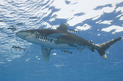 Ozeanisch weiß-spitzen Sie Haifisch im Meer lizenzfreie stockfotos