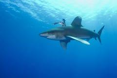 Ozeanischer weißer Spitzehaifisch (Carcharinus longimanus) Lizenzfreie Stockbilder