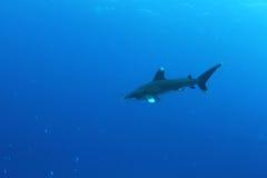 Ozeanischer weißer Spitzehaifisch (Carcharinus longimanus) Stockbilder