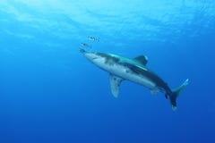 Ozeanischer weißer Spitzehaifisch (Carcharinus longimanus) Stockfoto