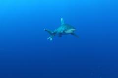 Ozeanischer weißer Spitzehaifisch (Carcharinus longimanus) Stockfotos