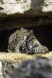 Ozelot Leopardus pardalis arkivbild