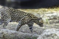 Ozelot Leopardus pardalis arkivfoto