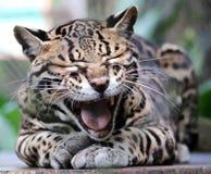 Ozelot selvaggio del gatto nel bello animale di Costa Rica fotografia stock