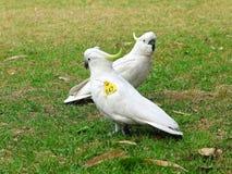 Oznaczający Czubaty kakadu Zdjęcie Stock