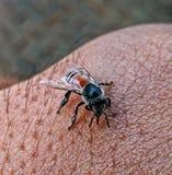 Маленькие ручки пчелы к моей коже стоковая фотография