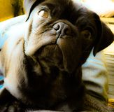 Ozzy cute black pug puppy Royalty Free Stock Images