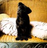 Ozzy black cute pug puppy Stock Photo