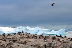 Págalo de Brown que acecha a una colonia del pingüino de Gentoo, la Antártida Foto de archivo