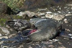Págalo que alimenta en el lobo marino muerto foto de archivo libre de regalías