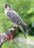 Pájaro 1 de la caza Imágenes de archivo libres de regalías