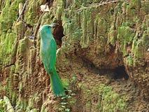 Pájaro (Abeja-comedor Azul-barbudo), Tailandia Imagen de archivo libre de regalías