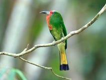 Pájaro (Abeja-comedor Rojo-barbudo), Tailandia Fotos de archivo libres de regalías