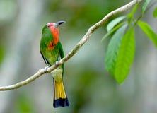 Pájaro (Abeja-comedor Rojo-barbudo), Tailandia imagen de archivo