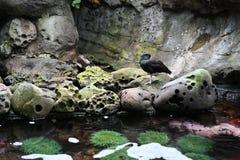 P?jaro acu?tico en roca cerca del tidepool foto de archivo
