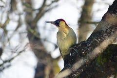 Pájaro adulto de la pulsación de corriente verde de los viridis europeos del Picus que se sienta en un manzano viejo Imagen de archivo libre de regalías