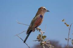 Pájaro africano Imagen de archivo libre de regalías