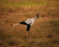 Pájaro africano Fotografía de archivo libre de regalías