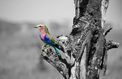 Pájaro africano colorido imagen de archivo