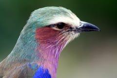 Pájaro africano del rodillo fotografía de archivo