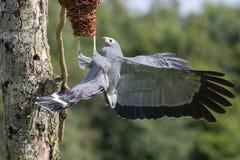 Pájaro africano del typus de Polyboroides del halcón del corredor de cross del depredador de la presa Imagen de archivo libre de regalías