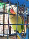 pájaro agradable de la jaula verde del loro fotografía de archivo