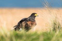 Pájaro agresivo que se sienta en la hierba que busca la presa Foto de archivo libre de regalías