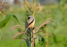 Pájaro (alcaudón de cola larga) que se sienta en planta del maíz/de maíz Imagenes de archivo