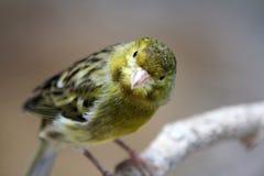 Pájaro amarillo Imagen de archivo
