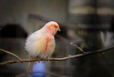 Pájaro amarillo Fotografía de archivo libre de regalías