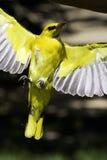 Pájaro amarillo Fotos de archivo libres de regalías