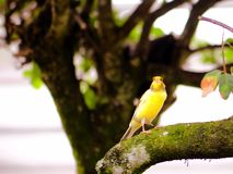 Pájaro amarillo amarillo en rama de árbol Imagen de archivo libre de regalías