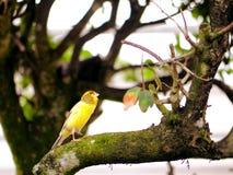 Pájaro amarillo amarillo en rama de árbol en la pajarera, la Florida Imagen de archivo libre de regalías