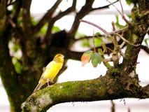 Pájaro amarillo amarillo en rama de árbol en pajarera Imagen de archivo libre de regalías