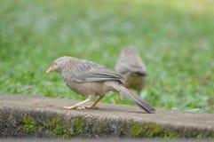 pájaro Amarillo-cargado en cuenta del charlatán Imagenes de archivo