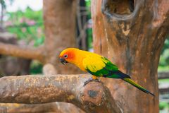 Pájaro amarillo del loro, conure del sol foto de archivo libre de regalías