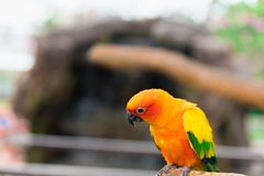 Pájaro amarillo del loro, conure del sol imagenes de archivo