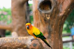 Pájaro amarillo del loro, conure del sol fotografía de archivo