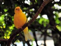 Pájaro amarillo del pinzón (Sicalis) Fotos de archivo