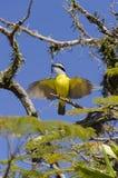 Pájaro amarillo en Paraty Fotos de archivo