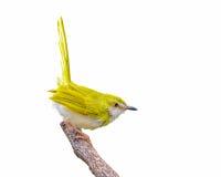 Pájaro amarillo en rama Imágenes de archivo libres de regalías
