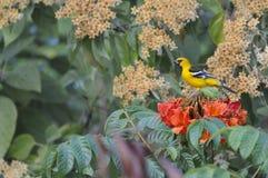 Pájaro amarillo en un árbol Imagen de archivo