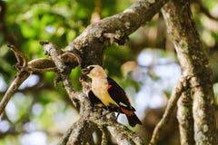Pájaro amarillo en un árbol Hangbird Tarangire, Tanzania Imágenes de archivo libres de regalías