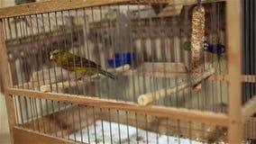 Pájaro amarillo en una jaula con el salto de perca almacen de metraje de vídeo