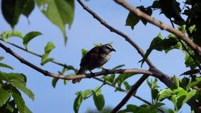 Pájaro Amarillo-expresado Pycnonotus plumas de preparación y de limpiamiento de Goiavier del Bulbul almacen de video