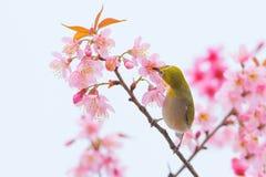Pájaro amarillo lindo que se encarama en la flor de Sakura Imagenes de archivo